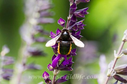 Bee sp