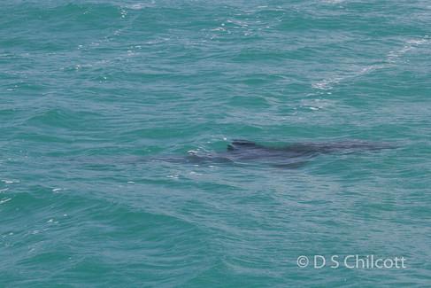 Great white shark (7).jpg