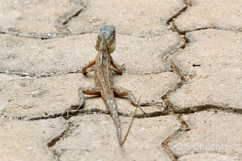 Lizard sp