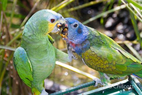 Blue-headed parrot & yellow-headed amazon
