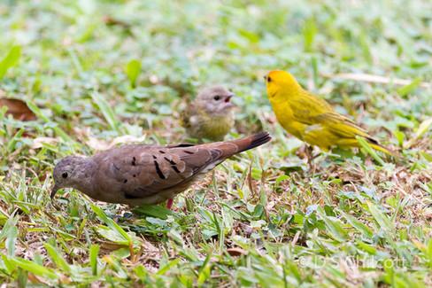Ground dove and saffron finch