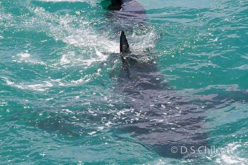 Great white shark (8).jpg
