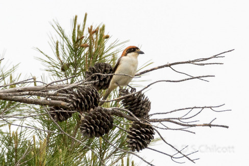 Balearics shrike