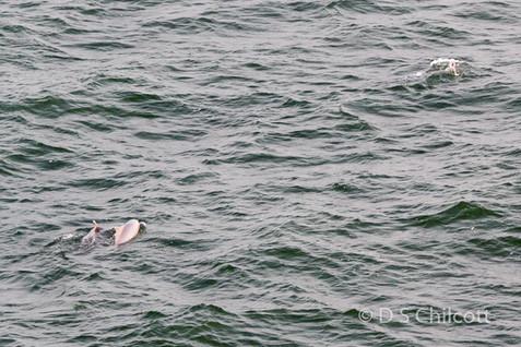 Humpback dolphins