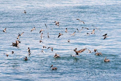 Gulls & Pelican feeding