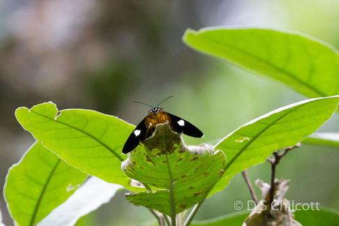 Butterfly sp