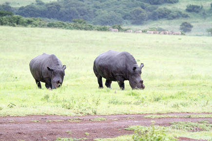 White rhinocerous in the rain