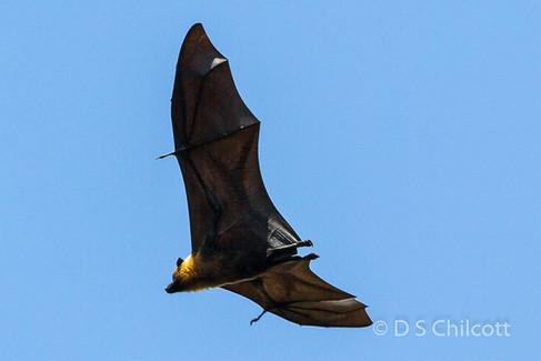 Seychelles flying fox