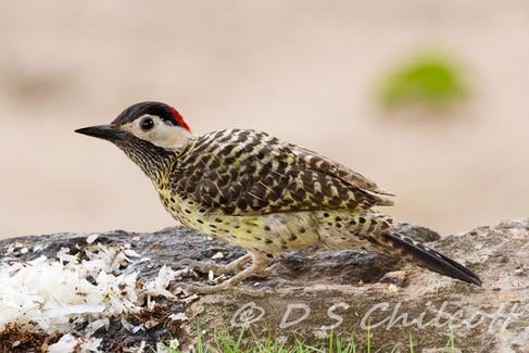 Green-barred woodpecke