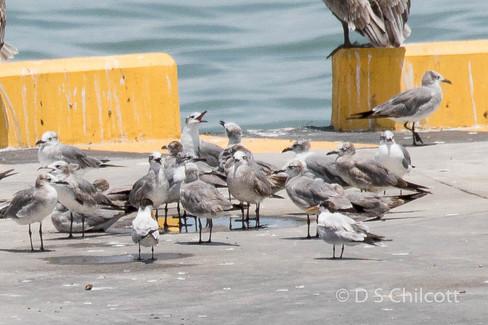Laughing gull & Elegant tern