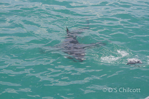 Great white shark (18).jpg