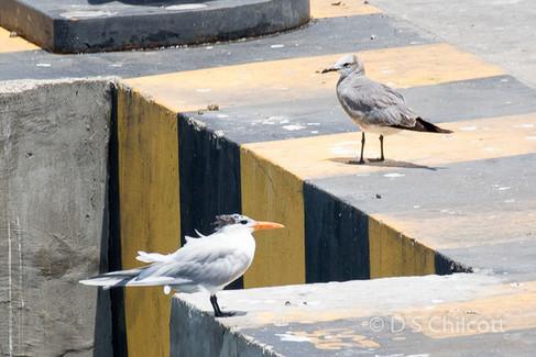 Royal tern & Laughing gull