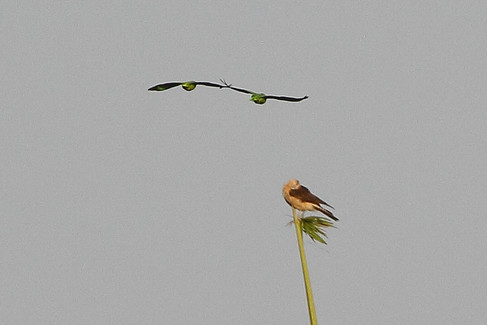 Amazon parrot & Yellow-necked caracaraj