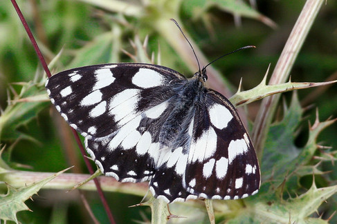 Marbled butterfly.