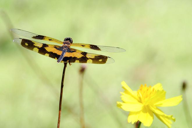 Variegated flutterer