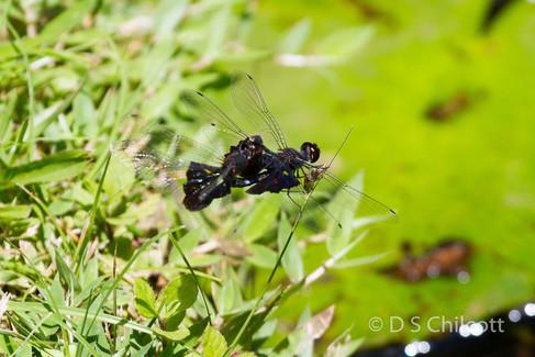 Phanton flutterer dragonfly mating
