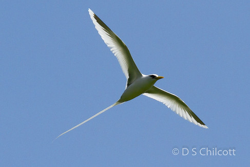 White-tailed tropicbir