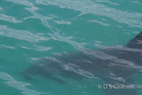 Great white shark (11).jpg