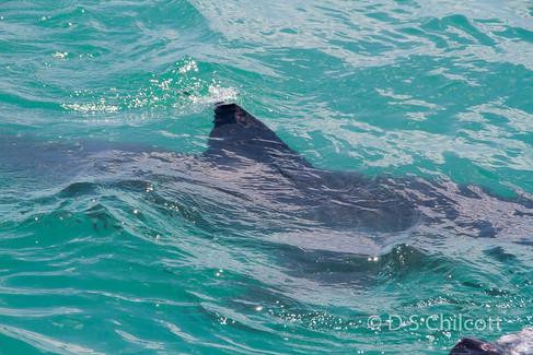 Great white shark (3).jpg