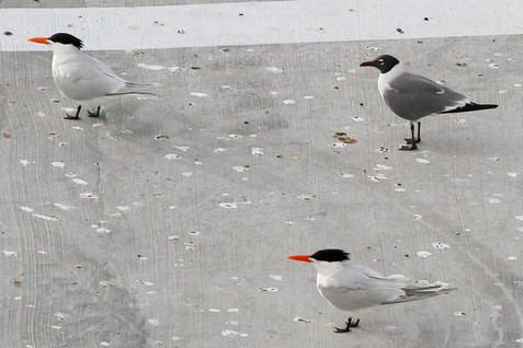 Royal tern with a Laughing gull