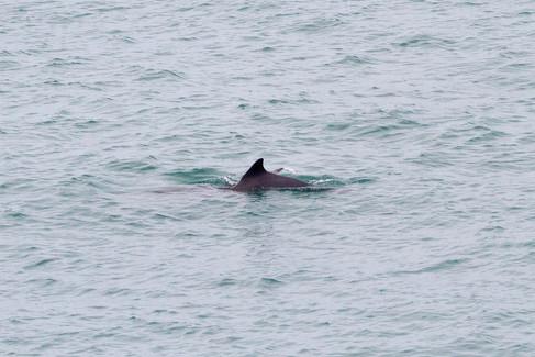 Guiana dolphin