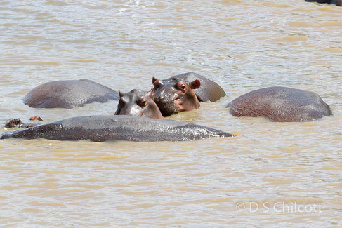 Hippopotami