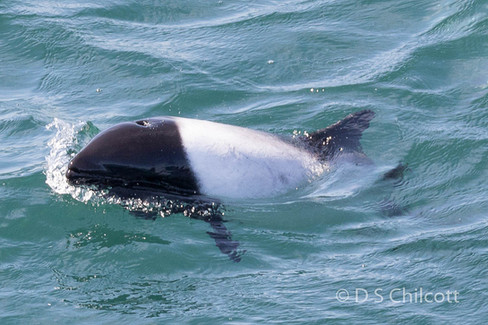 Commerson's dolphin (6).jpg