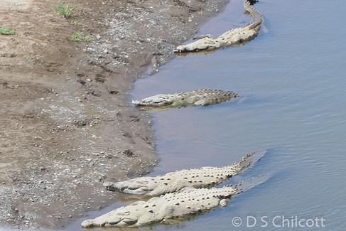 Costa Rican crocodile