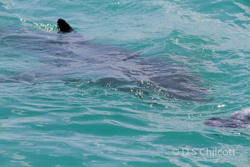 Great white shark (2).jpg