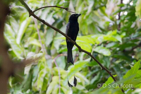 Greater-racket-tailed drongo
