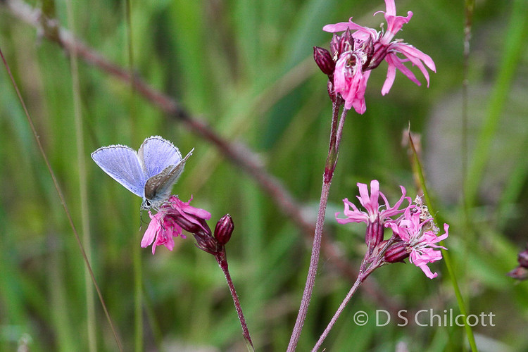 Silver-studded blue butterfly