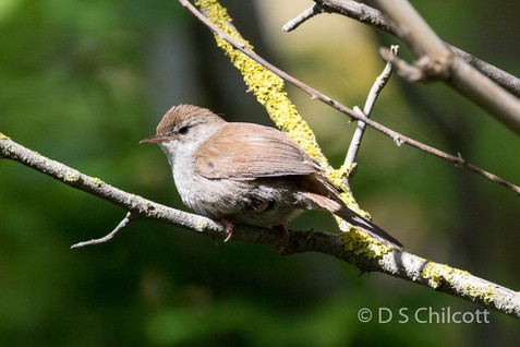 Cetti's warble