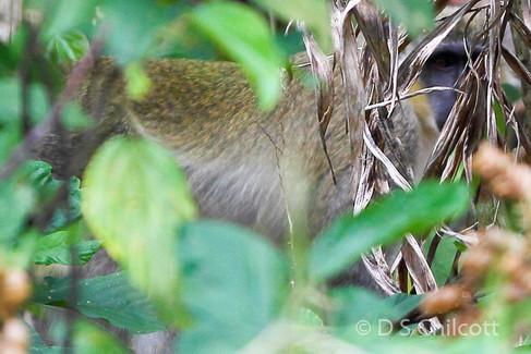 Green vervet monkey in cover