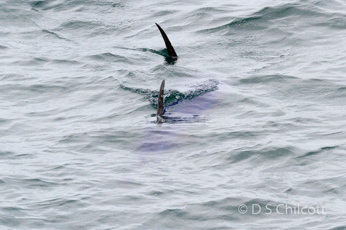 Swordfish sp