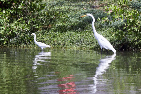 Snowy & Great egret