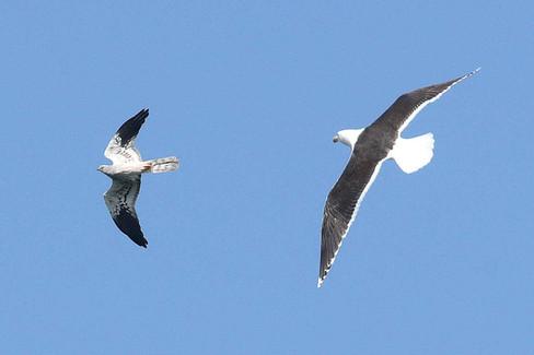 Montagu's harrier pursued by gull