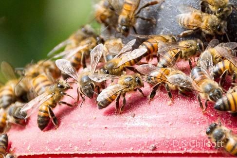 South american honeybee