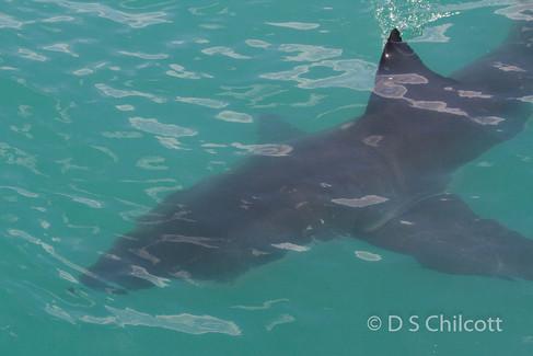 Great white shark (21).jpg
