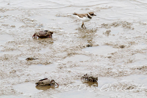 Semi-palmated plover with crabs