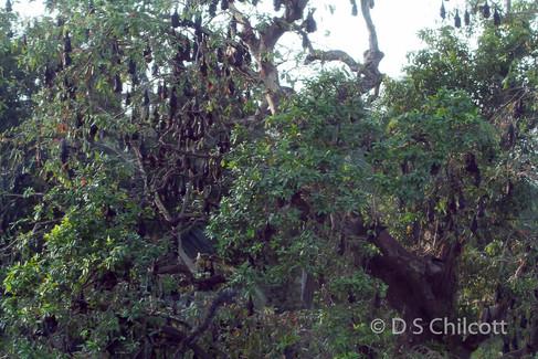 Fruit bat roos