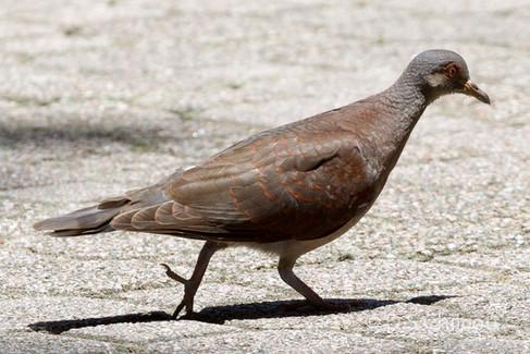 Malagasy trutle dove