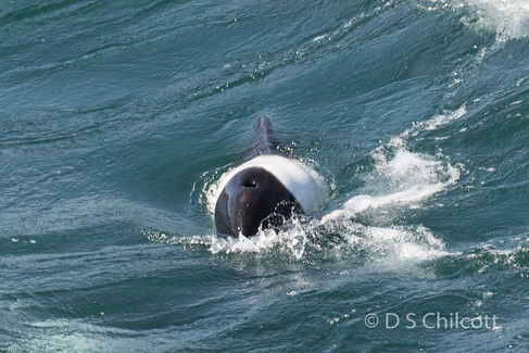 Commerson's dolphin (2).jpg
