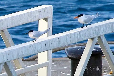 Sandwich  & Royal tern