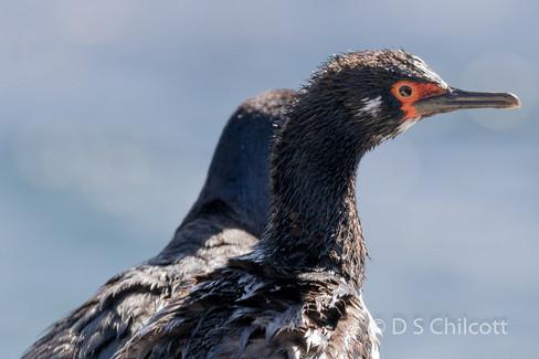 Magellanic cormorant (1).jpg