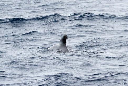 Long-finned pilot whale (13).jpg