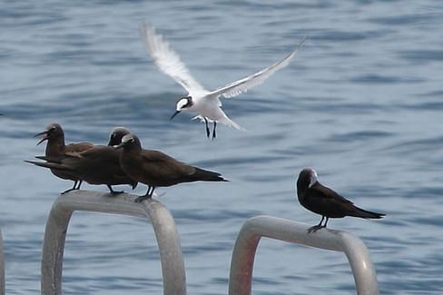 Noddies & Black-naped tern