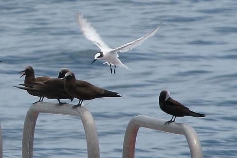 Black noddies & Black-naped tern