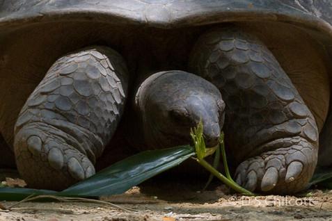 Aldabra giant tortoise (4).jpg