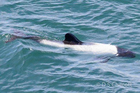 Commerson's dolphin (19).jpg