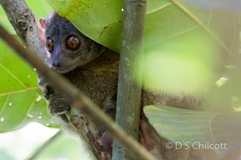 Nosy be sportive lemur (2.jpg